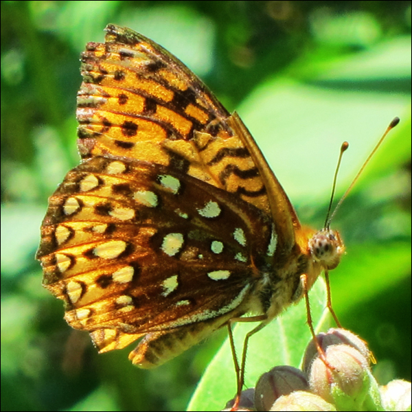 Adirondack Butterflies -- Aphrodite Fritillary in the Paul Smiths Butterfly House (12 July 2012)