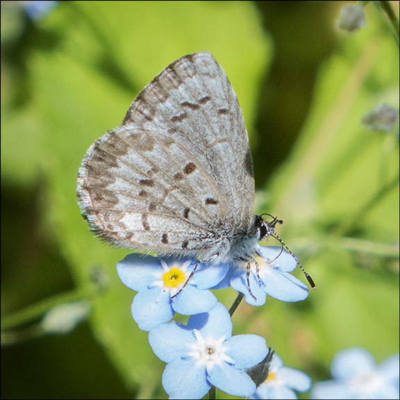 Butterflies of the Adirondacks: Spring Azure at the Paul Smiths VIC Butterfly House (22 June 2014)