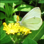 Adirondack Butterflies -- Cabbage White in the Paul Smiths Butterfly House (16 June 2012)