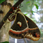 Adirondack Butterflies -- Cecropia Moth in the Paul Smiths Butterfly House (16 June 2012)