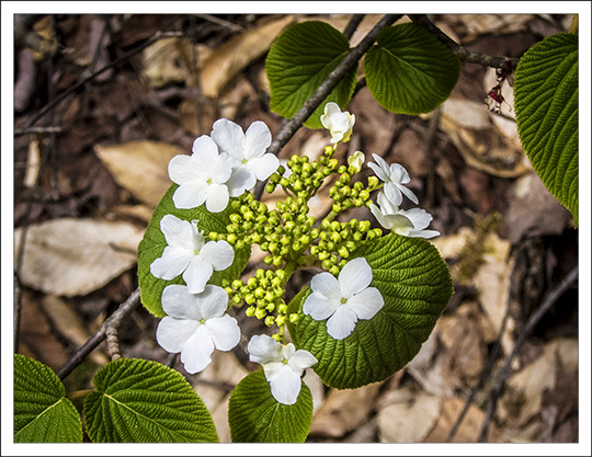 Shrubs of the Adirondack Mountains:  Hobblebush along the Heron Marsh Trail at the Paul Smiths VIC (8 May 2013)