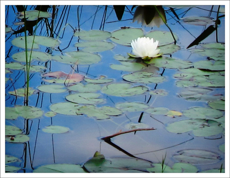 Adirondack Wildflowers:  White Water-Lily on Heron Marsh at the Paul Smiths VIC (5 July 2011)