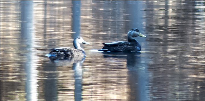 Birds of the Adirondacks: American Black Ducks on Black Pond (23 April 2013)