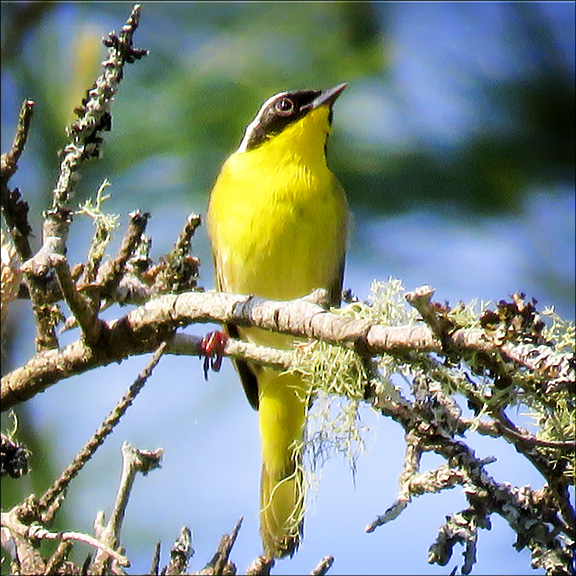 Birds of the Adirondacks  Common Yellowthroat at the Paul Smiths VIC (28 Nay 2016)
