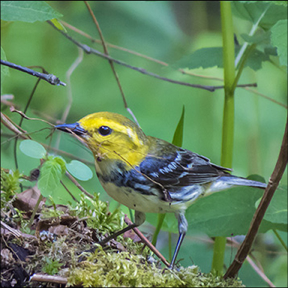 Adirondack Birding: Black-throated Green Warbler on the Logger's Loop Trail (30 May 2015)