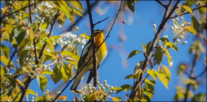 Adirondack Birding: Blackburnian Warbler near the VIC building (20  May 2014)
