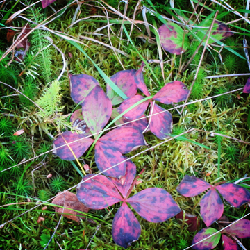 Wildflowers of the Adirondack Mountains: Bunchberry (25 September 2011)