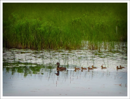 Birds of the Adirondacks:  Ducks on Heron Marsh