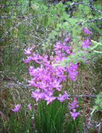 Adirondack Wildflowers:  Grass Pinks growing in Barnum Bog along the Boreal Life Trail at the Paul Smiths VIC