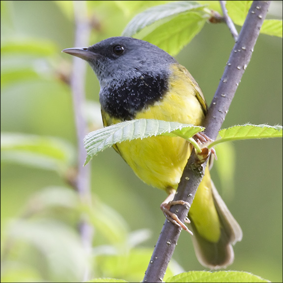 Mourning Warbler.  Photo by Larry Master.  Used by permission.