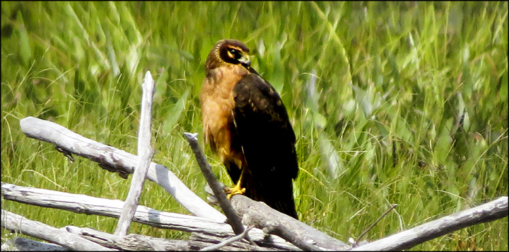 Birds of the Adirondacks: Juvenile Northern Harrier on Heron Marsh from the Heron Marsh Trail (29 August 2015)