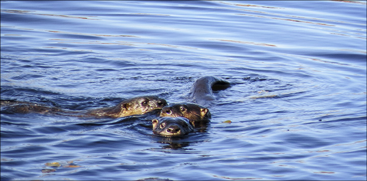Adirondack Wildlife: North American River Otters at play on Heron Marsh, from the raised platform on the Heron Marsh Trail.  6 October 2014