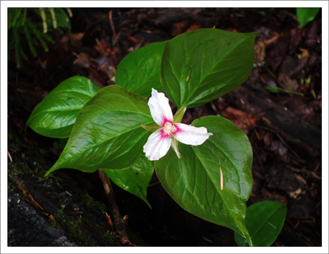 Adirondack Wildflowers:  Painted Trillium in bloom at the Paul Smiths VIC (16 May 2012)