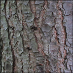 Trees of the Adirondacks:  Eastern Hemlock | Bark (28 July 2012)