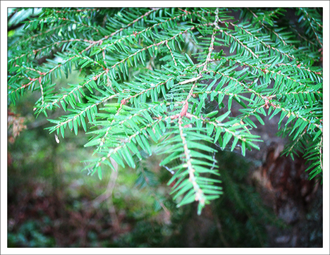 Trees of the Adirondacks:  Eastern Hemlock on the Barnum Brook Trail at the Paul Smiths VIC (28 July 2012)