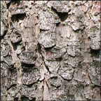 Trees of the Adirondacks: Red Spruce | Bark (28 July 2012)