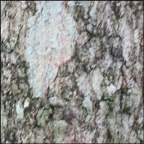 Trees of the Adirondacks:  Sugar Maple | Bark (28 July 2012)