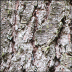 Trees of the Adirondacks:  White Pine | Bark (28 July 2012)