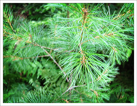 Trees of the Adirondacks: Eastern White Pine on the Barnum Brook Trail at the Paul Smiths VIC (28 July 2012)