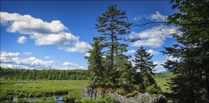 trees of the adirondacks eastern white pine pinus strobus