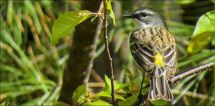 Birds of the Adirondacks: Yellow-rumped Warbler at the Paul Smiths VIC (17 May 2015)