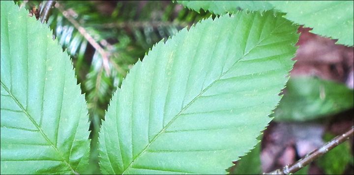 95cc9b97dfd Trees of the Adirondacks  The leaves of Yellow Birch have finely  double-toothed edges