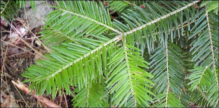 Trees Of The Adirondacks Balsam Fir Abies Balsamea